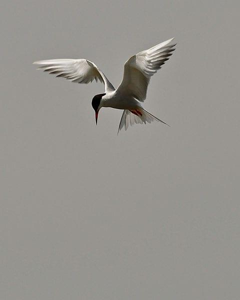 Common Tern, Tony Money for Poulton Photographic Society