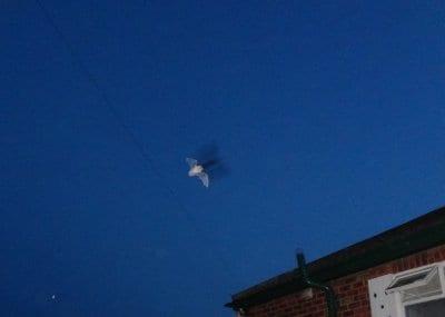 Bat in flight, taken in Poulton